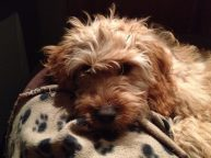Banksia Park Puppy Phoebe