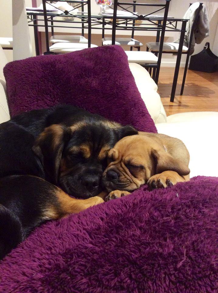 Bailey&Mia Puggles Banksia Park Puppies