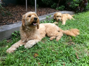 Banksia Park Puppies Benni and Bailey