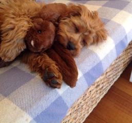Banksia Park Puppies Charlie2