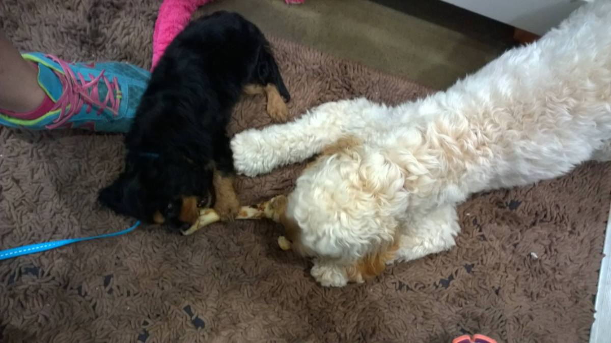 Banksia Park Puppies Chester and Sophie