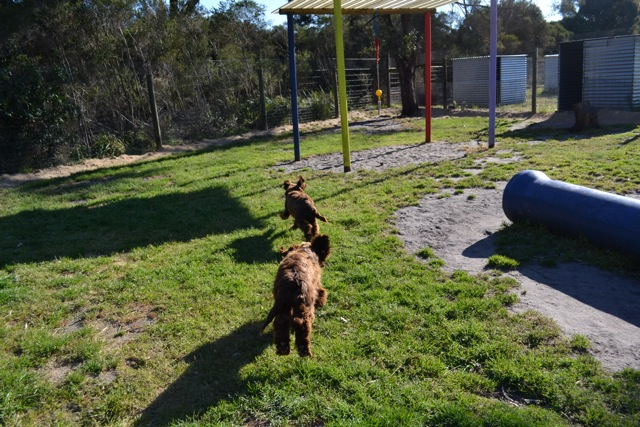 Banksia Park Puppies Cocker Spaniel 1