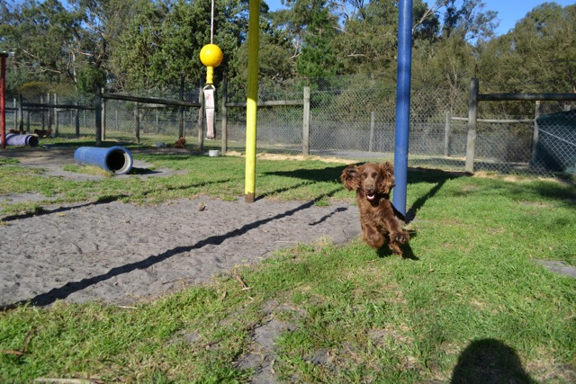 Banksia Park Puppies Cocker Spaniel 1