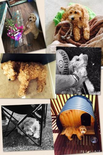 """""""This is our little cute, adorable but naughty Gozo, born 14.7.14, Spoodle. We love him to bits! Thank you Banksia Park Puppies"""""""