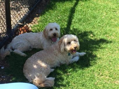 Banksia Park Puppies Khloe and Ella