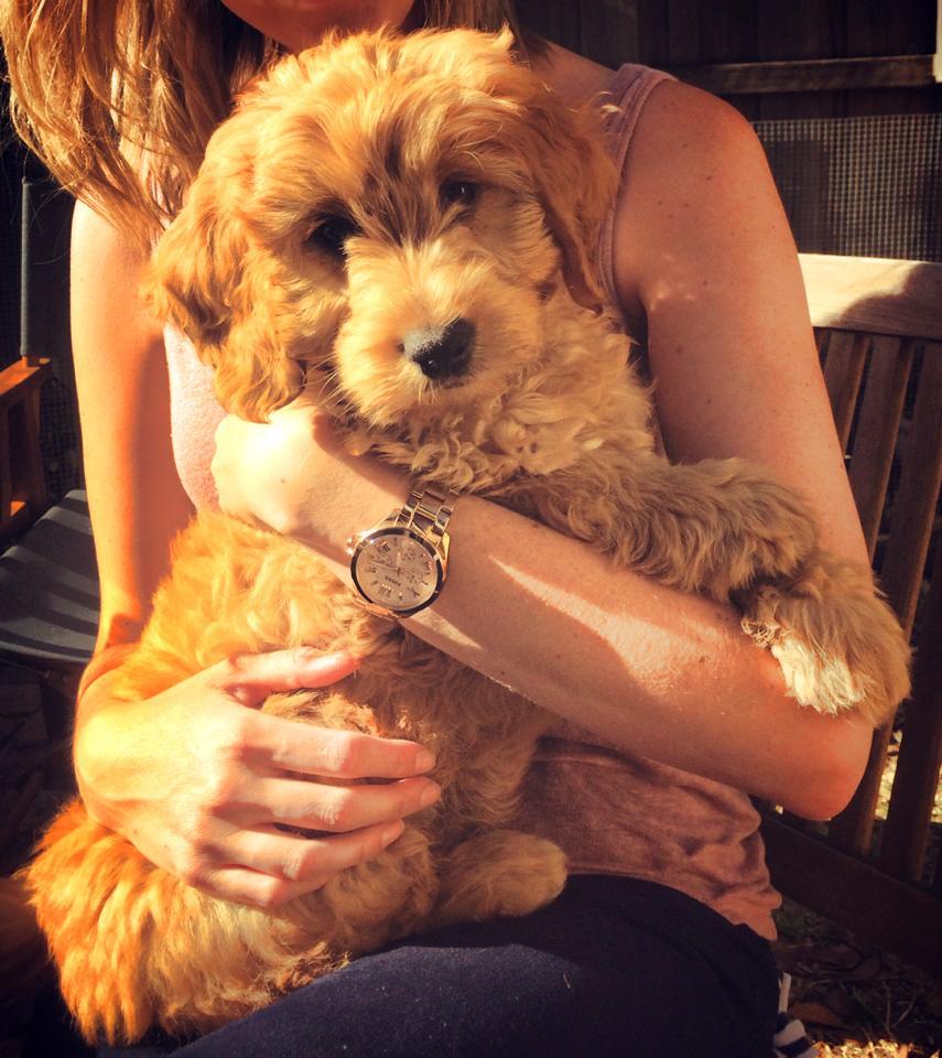 Banksia Park Puppies Louie