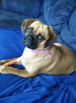 """""""This is our 10month old Miss Piggy The absolute light & love of our lives!!!! We love her so much & can't wait to add another puggle to our family xx"""""""