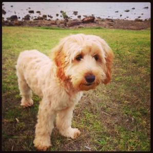 """""""Here is a photo of our 6 month old spoodle puppy, Molly. She is a much loved member of the family and loves her walks to the local parks. #banksiaparkpuppies"""""""