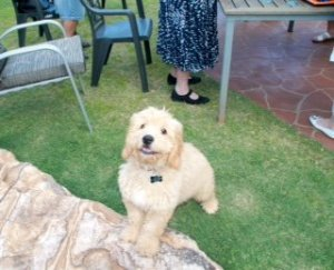 Banksia Park Puppies Ned2