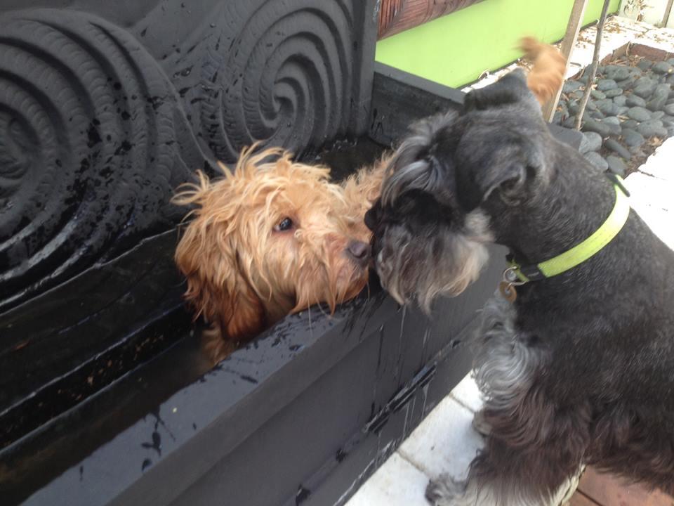 Banksia Park Puppies Pheobe water