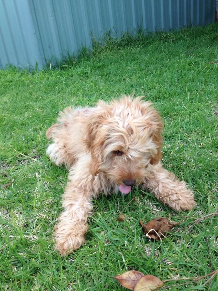 Banksia Park Puppies Pheoebe 2