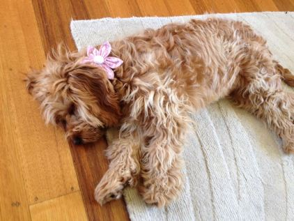 """Thought I'd send a photo of Phoebe modelling a beautiful fashion accessory ie pink flower."""