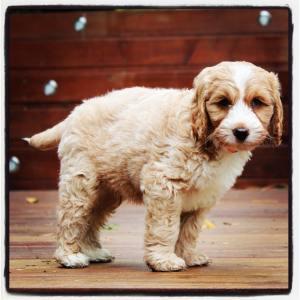 Banksia Park Puppy Jett