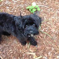 Banksia Park Puppy Bella groomed