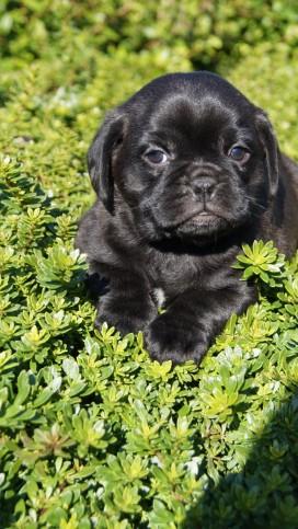 Banksia Park Puppy Pugalier