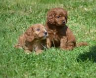 Banksia Park Puppies Cavoodle Socialisation