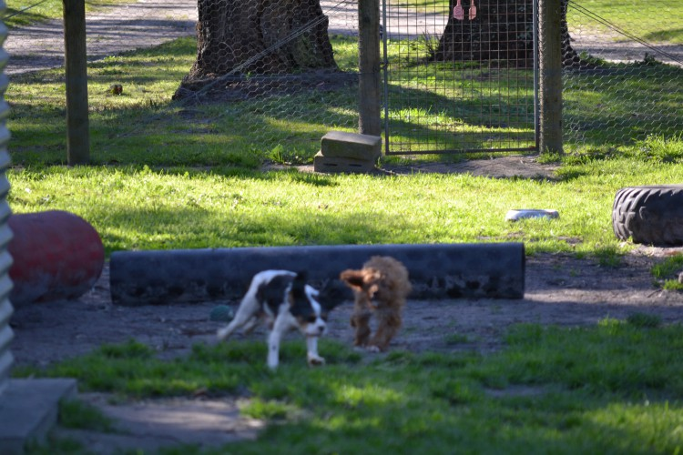 Playing pups at Banksia Park Puppies