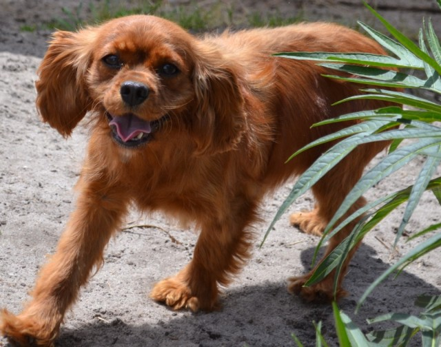 Sorrel Banksia Park Puppy