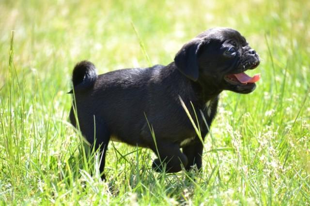 Socialising Pugaliers at Banksia Park Puppies