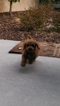 Banksia Park Puppies marli