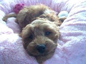 Banksia Park Puppy Grace's puppy