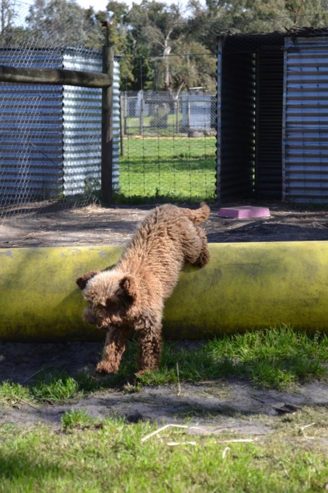 Banksia Park Puppies Poodles socialisation