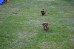 Banksia Park Puppies Cavoodles 7
