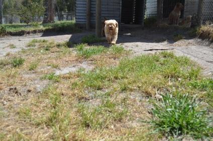 Banksia Park Puppies Gidget