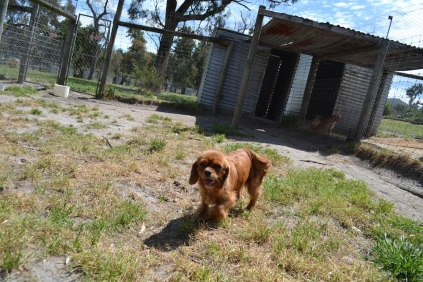 Banksia Park Puppies Ginger