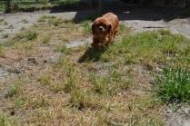 Banksia Park Puppies Ginger