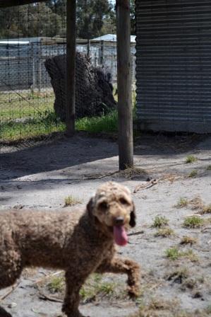 Banksia Park Puppies Sam