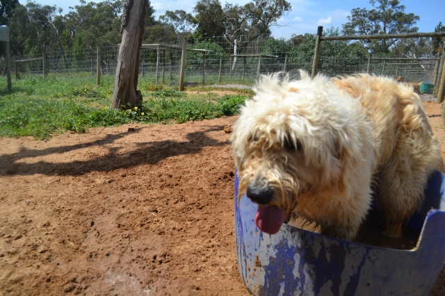 Banksia Park Puppies Penny having a swim