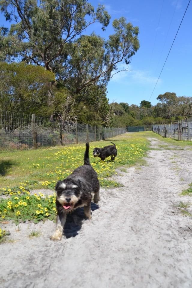 Banksia Park Puppies Schnauzers