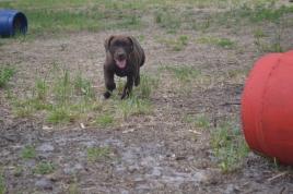 Banksia Park Puppies Meeka 10