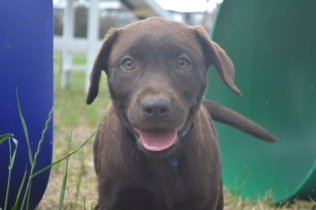 Banksia Park Puppies Meeka 3