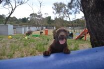 Banksia Park Puppies Meeka 4