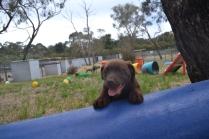 Banksia Park Puppies Meeka 5