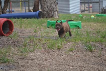 Banksia Park Puppies Mishka 2