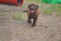 Banksia Park Puppies Mishka 4