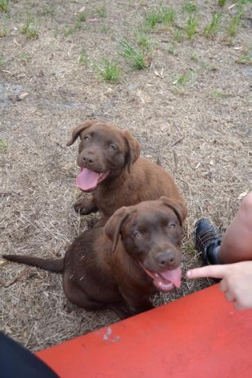Banksia Park Puppies Mishka and Meeka 10