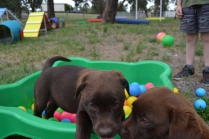 Banksia Park Puppies Mishka and Meeka 5