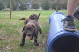 Banksia Park Puppies Mishka and Meeka 7