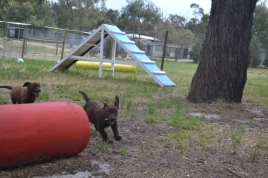 Banksia Park Puppies Mishka and Meeka 9