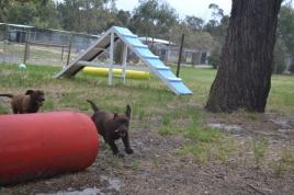 Banksia Park Puppies Mishka and Meeka 9