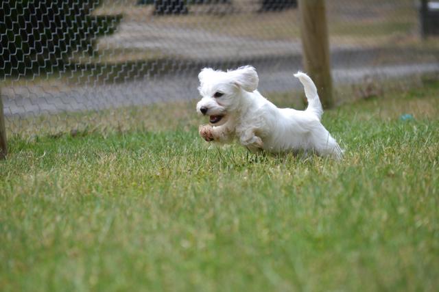 Banksia Park Puppies Schnoodles