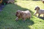 Banksia Park Puppies Spoodles