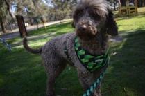 Alvin-Poodle-Banksia Park Puppies - 16 of 31