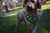Alvin-Poodle-Banksia Park Puppies - 17 of 31