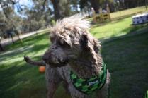 Alvin-Poodle-Banksia Park Puppies - 18 of 31