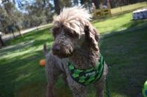 Alvin-Poodle-Banksia Park Puppies - 19 of 31